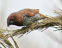 Scaly breasted Munia I IMG 3527.jpg