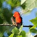 Scarlet Tanager (4609766406).jpg