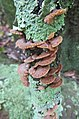 Schizophyllum 561589.jpg