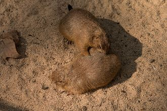 Black-tailed prairie dog - Two black-tailed prairie dogs grooming themselves
