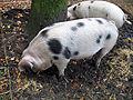 Schwein-IMG 3148.JPG