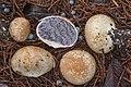 Scleroderma bovista Fr 953195.jpg