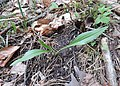 Scorzonera humilis kz05.jpg