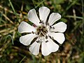 Sea Campion - geograph.org.uk - 808278.jpg