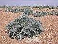 Sea Kale plants on Landguard Beach - geograph.org.uk - 2474795.jpg