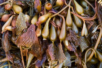 Seaweed in Ensenada Baja California.jpg