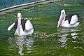 Segarnya berenang bersama pelikan UDA 0906.jpg