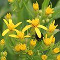 Senecio nemorensis (flower s4).JPG
