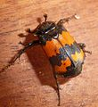 Sexton or Burying Beetle. Silphidae. Nicrophagus vespillo - Flickr - gailhampshire.jpg