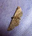 Shaded Pug^ Eupithecia subumbrata - Flickr - gailhampshire.jpg