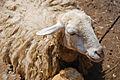 Sheep Nepal.jpg