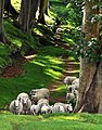 Sheep on the Lady Walk Fairlie (3658233202).jpg
