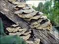 Shelf fungus 3.jpg