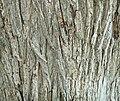Siberian Elm (Ulmus pumila) bark detail.jpg