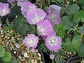 Sidalcea malviflora (19067717986).jpg