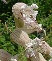 Silene vulgaris2.jpg