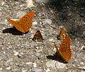 Silver-Washed Fritillaries and Nickerl's Fritillary. Mellicta aurelia - Flickr - gailhampshire.jpg