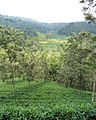 Silver Oak trees amidst tea plants in Wayanad.JPG