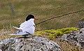 Silvertärna Arctic Tern (14342055617).jpg