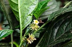 Silvianthus bracteatus 1.jpg
