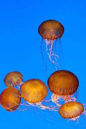 Chrysaora - Chrysaora fuscescens