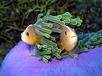 Skunk Anemonefish - Amphiprion akallopisos