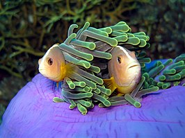 Amphiprion akallopisos in Thailand