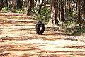 Sloth Bear - Wilpattu National Park.jpg