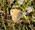 Small Heath. Coenonympha pamphilus (43992568660).jpg