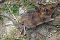 Small Mouse (201529325).jpeg