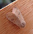 Small Quaker. Orthosia cruda. Noctuidae. Hadeninae - Flickr - gailhampshire.jpg