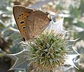 Small copper menorca.jpg