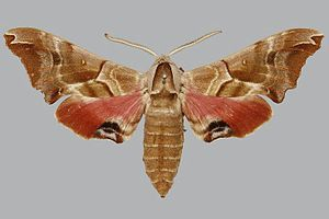 Smerinthus kindermannii BMNHE813671 male up.jpg