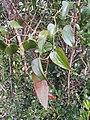Smilax aspera - Italian Sarsaparilla at Mannavan Shola, Anamudi Shola National Park, Kerala.jpg