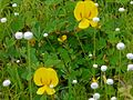 Smithia bigemina Dalzell (2899013416).jpg