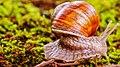 Snail (124874401).jpeg
