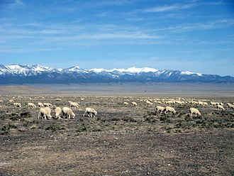 Sheep - Sheep grazing on public land (Utah, 2009)
