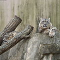 Snow leopard make a smile to the camera.jpg