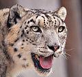 Snow leopard portrait.jpg