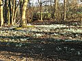 Snowdrop Wood - geograph.org.uk - 330517.jpg
