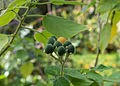 Solanum abutiloides.jpg
