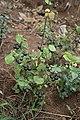 Solanum cf scabrum MS 4114.jpg
