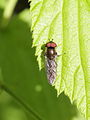 Soldier fly indet. from Slovakia (7570456690).jpg
