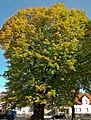 Linde-Sommerlinde (Tilia platyphyllos)