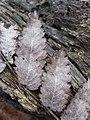 Sorbus aucuparia sl9.jpg