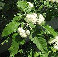 Sorbus x pinnatifida 3.jpg