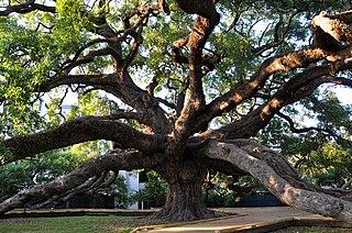 Treaty Oak (Jacksonville)