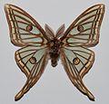 Spanish Moon Moth (Graellsia isabellae) male (8383152321).jpg