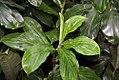 Spathiphyllum friedrichsthalii 0zz.jpg