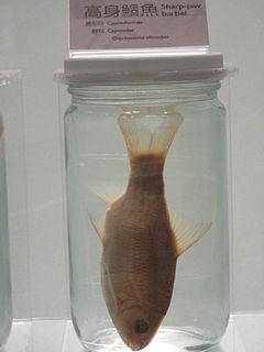 <i>Onychostoma</i> genus of fishes